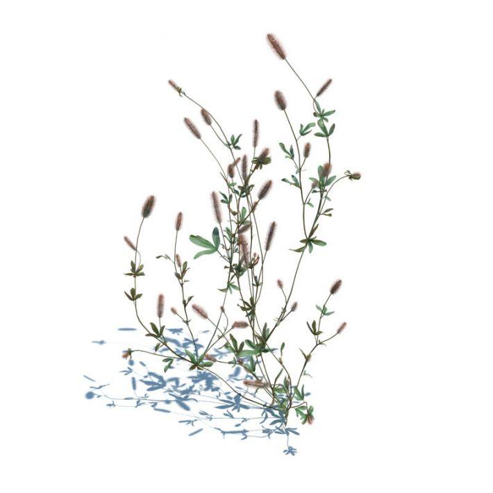 Trifolium arvense 045 am126