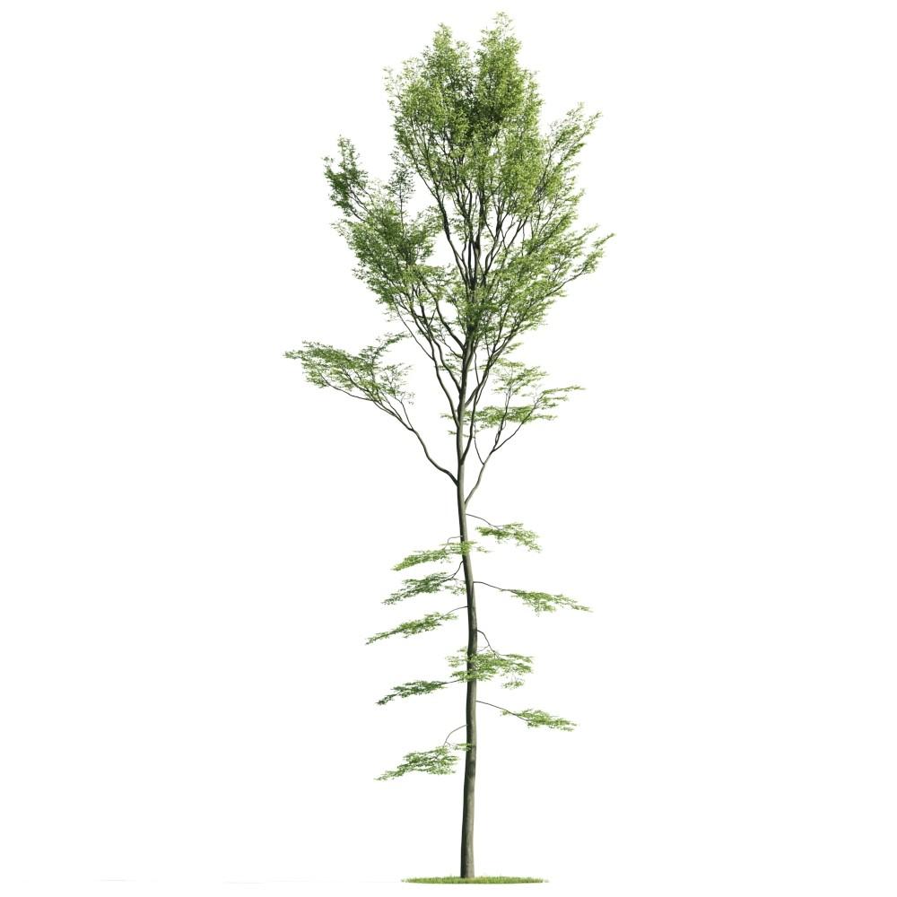 Tree 36 AM176 Archmodels