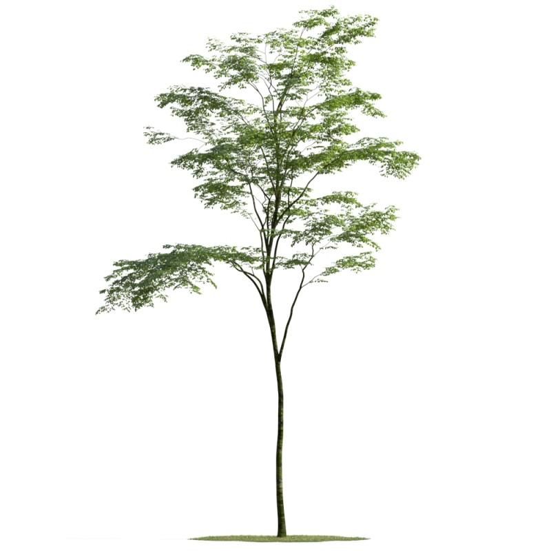 tree 15 AMC01