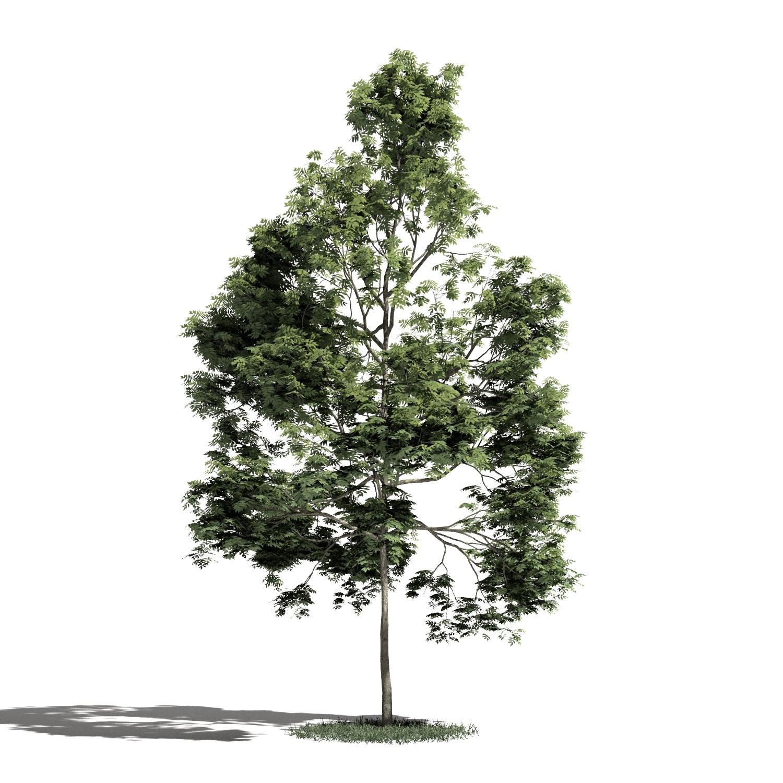 Tree 39 amb1