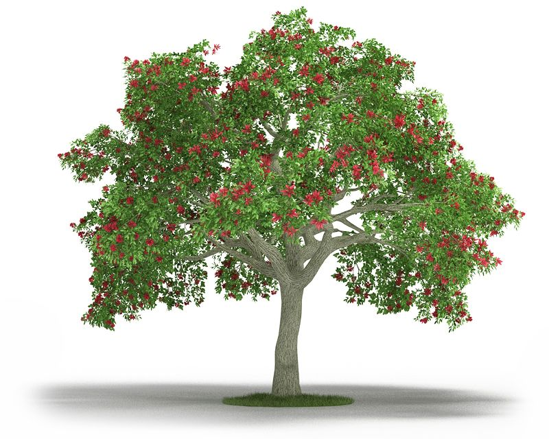Erythrina 9 AM3 for Cinema4D Archmodels