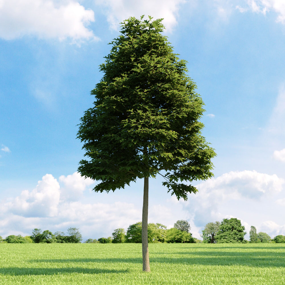Quercus palustris 11 v1 AM136 Archmodels