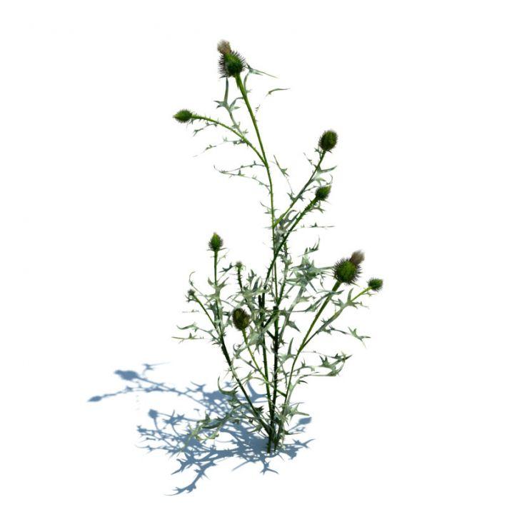 Cirsium vulgare 070 am124