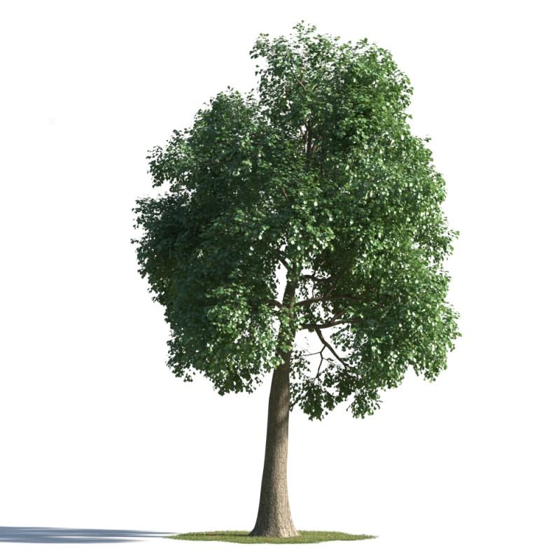 tree 50 AMC01