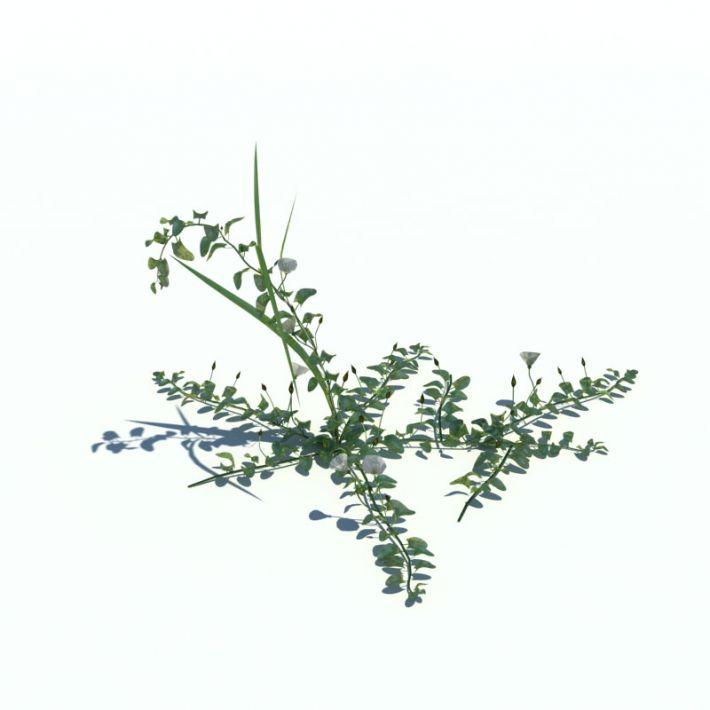 Convolvulus arvensis 25 AM126 Archmodels