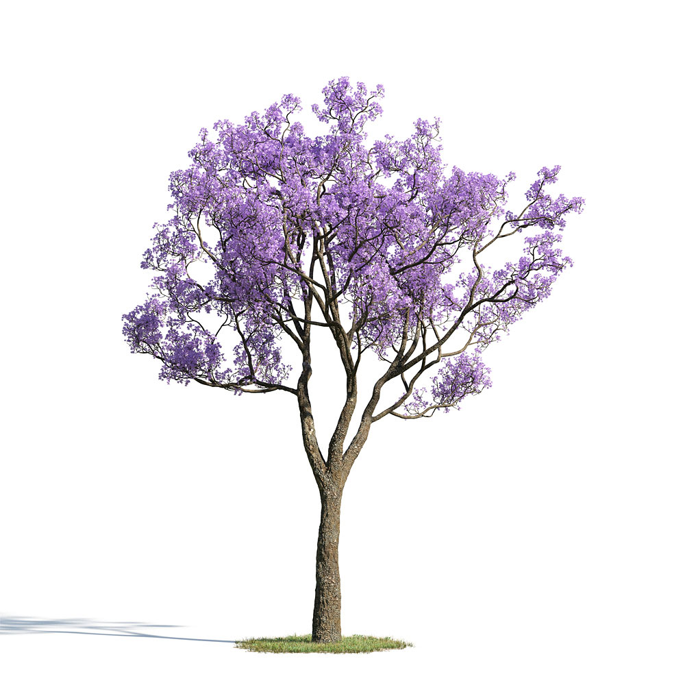 Jacaranda mimosifolia 33 AM154 Archmodels