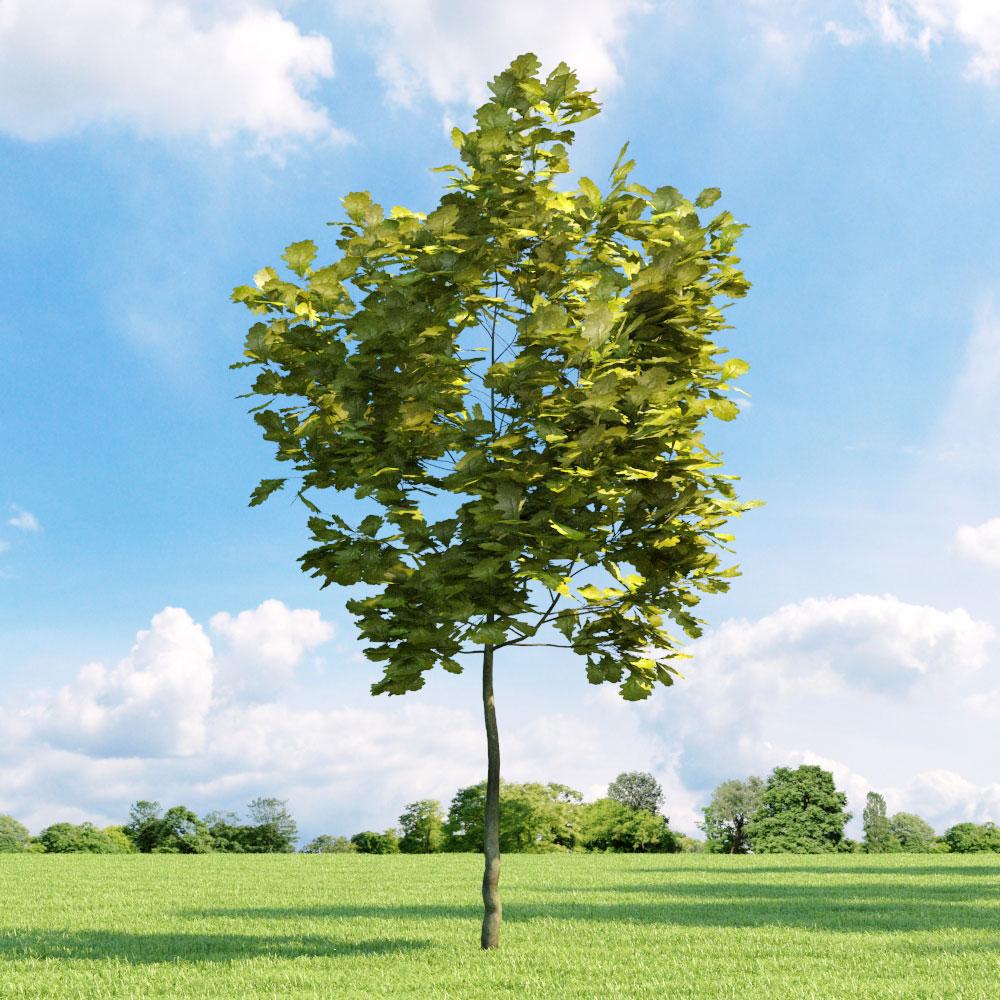 Quercus robur 'Concordia' 33 v1 AM136 Archmodels