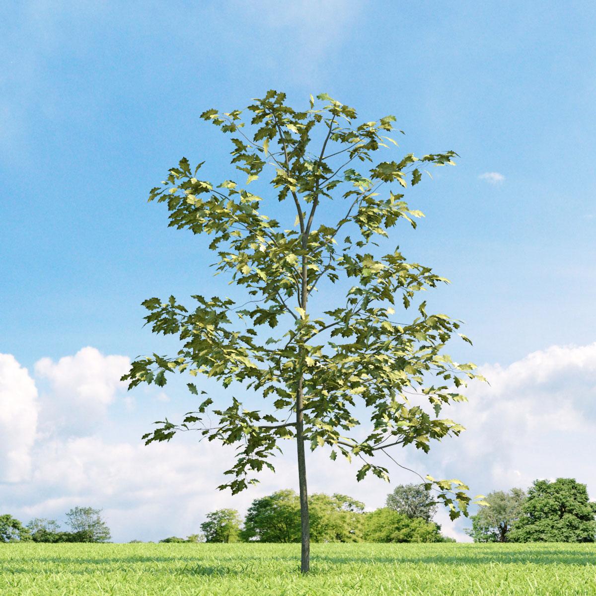 Quercus shumardii 19 v3 AM136 Archmodels