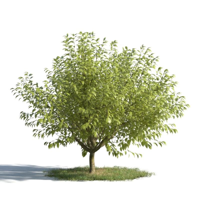 tree 99 AMC1