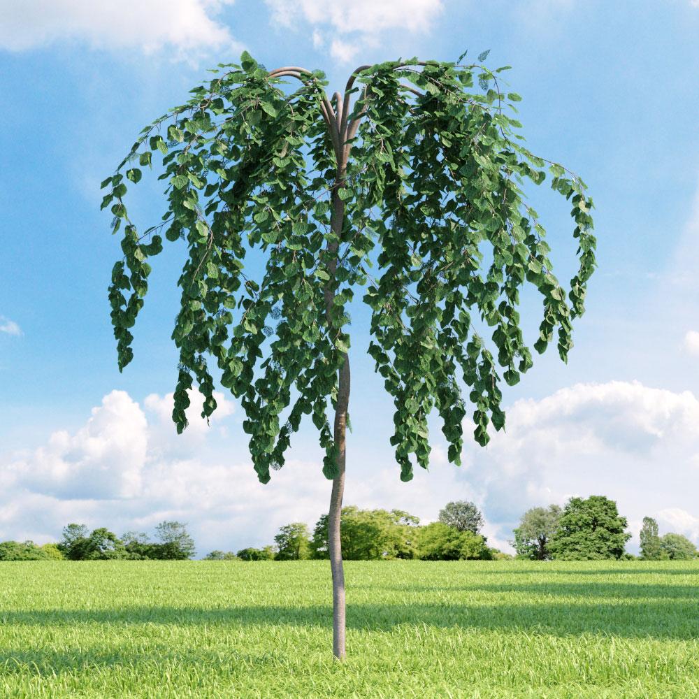 Cercidiphyllum japonicum 'Pendulum' 27 v1 AM136 Archmodels