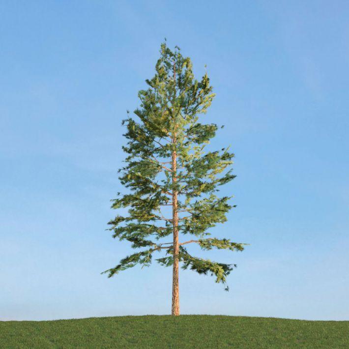 Pinus Strobus 46 am113
