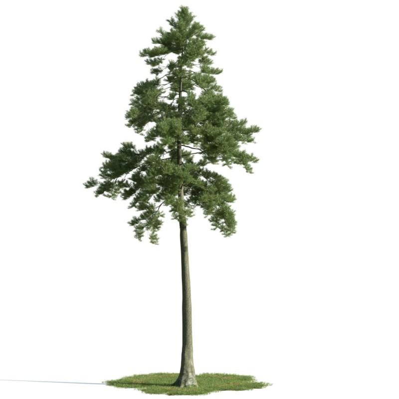 tree 25 am163