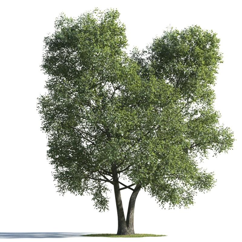 tree 80 AMC1