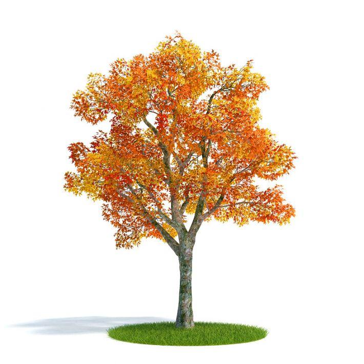 Platanus autumn Plant 22 AM61