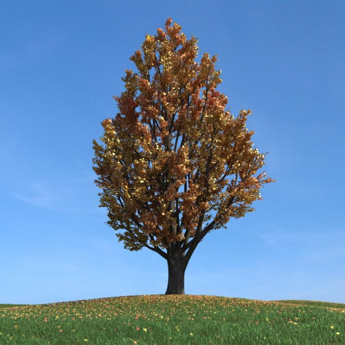 ginkgo tree 093 am100