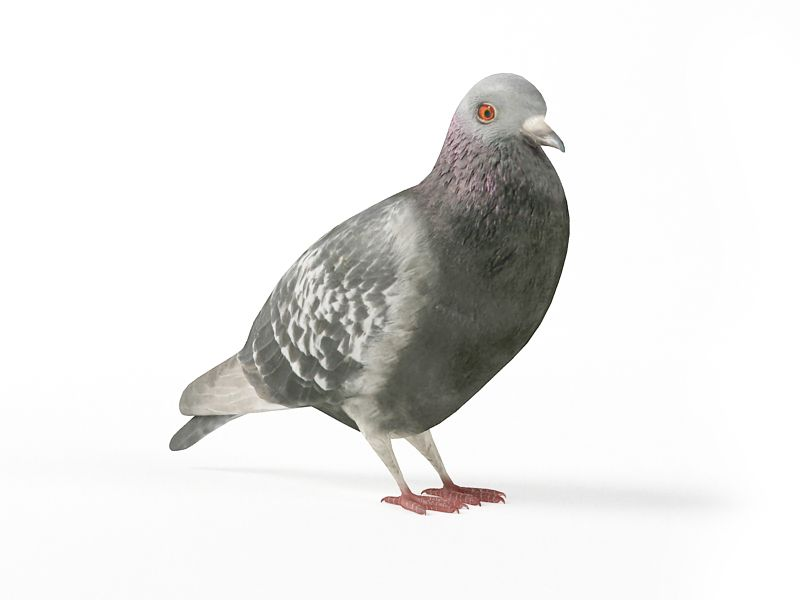 pigeon 11 AM83 Archmodels