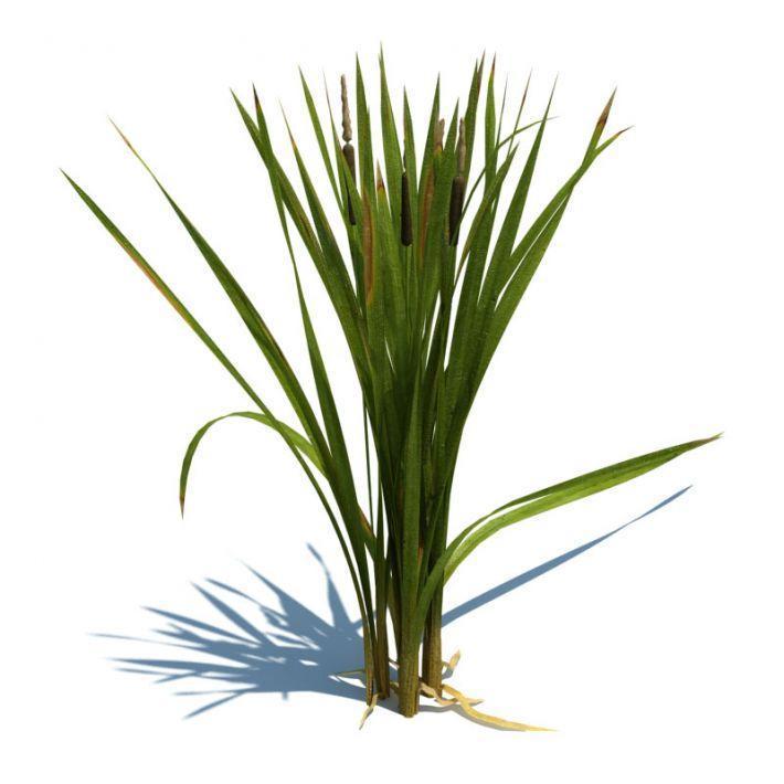 Typha latifolia 066 am124