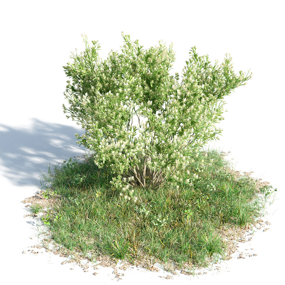 Baccharis pilularis 02 am154