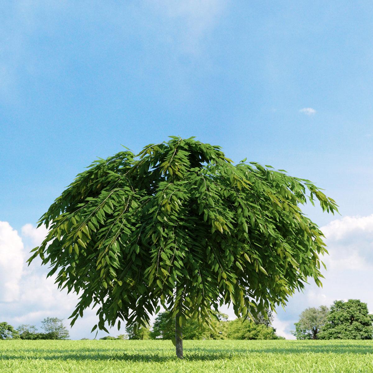 Salix repens var. nitida 22 v2 AM136 Archmodels