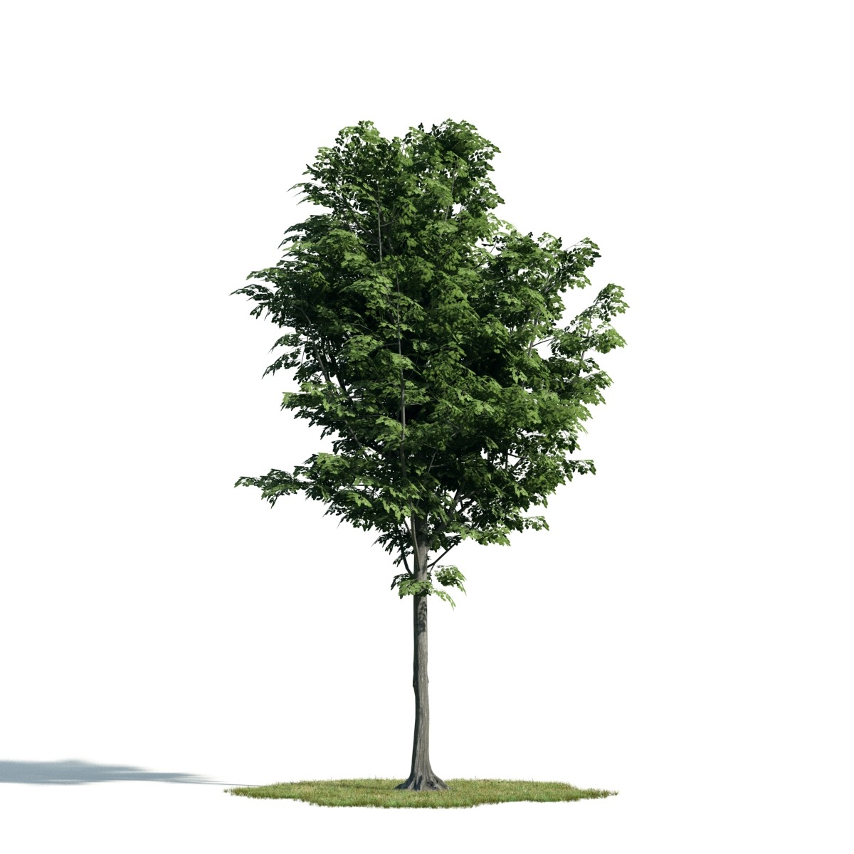 Tree 42 AM171 Archmodels