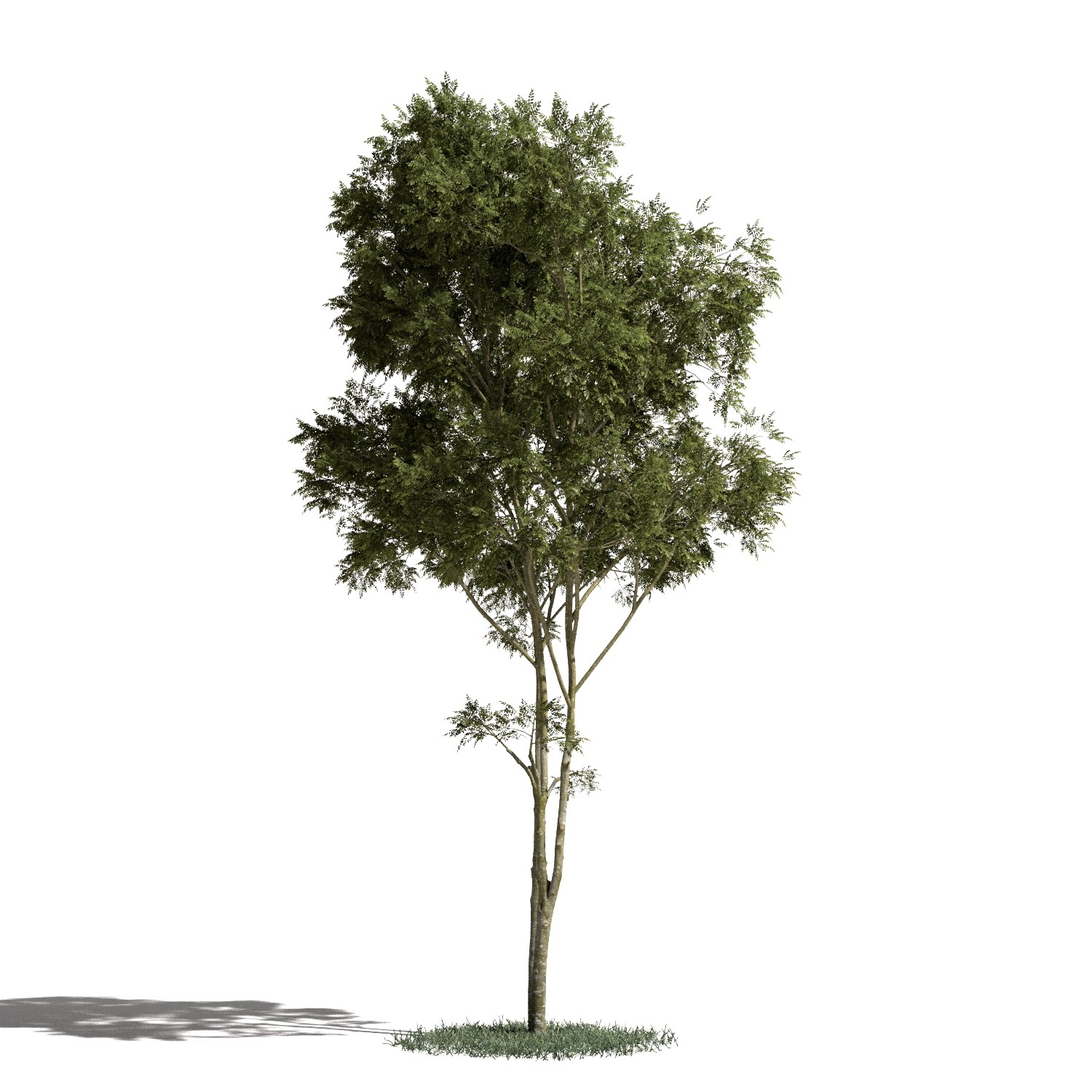 Tree 1 AM1 for Blender Archmodels