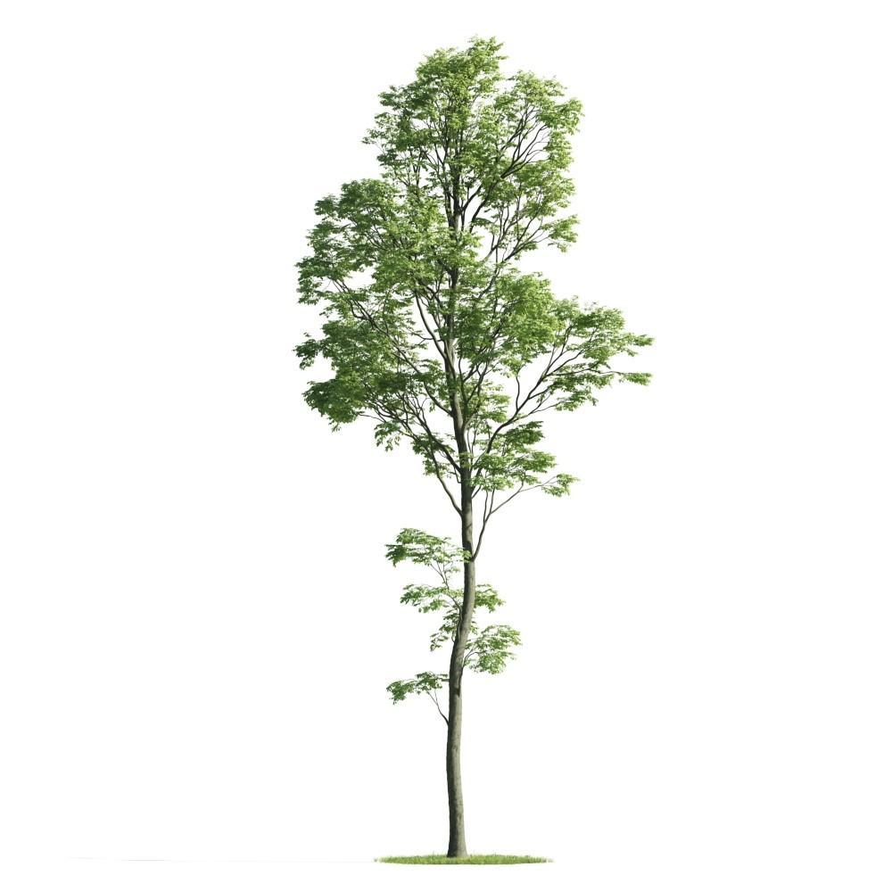 Tree 31 AM176 Archmodels