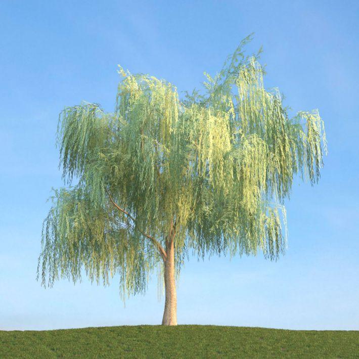 Salix 20 AM113 Archmodels