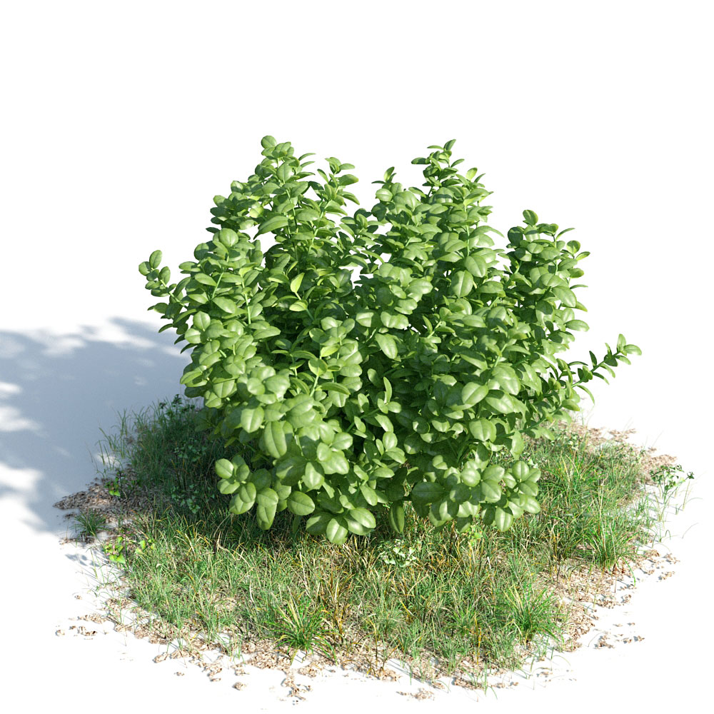 Ficus microcarpa 23 am154