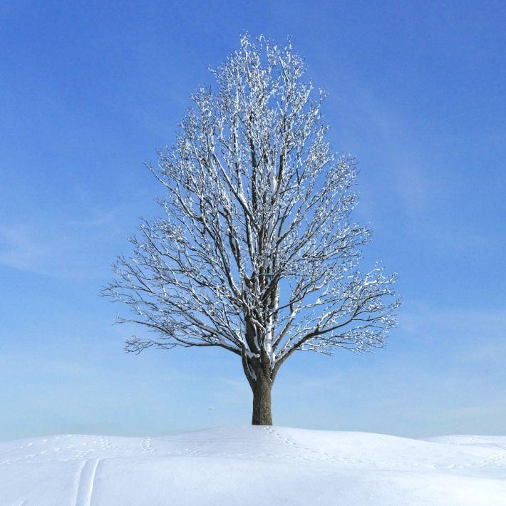 ginkgo tree 046 am100