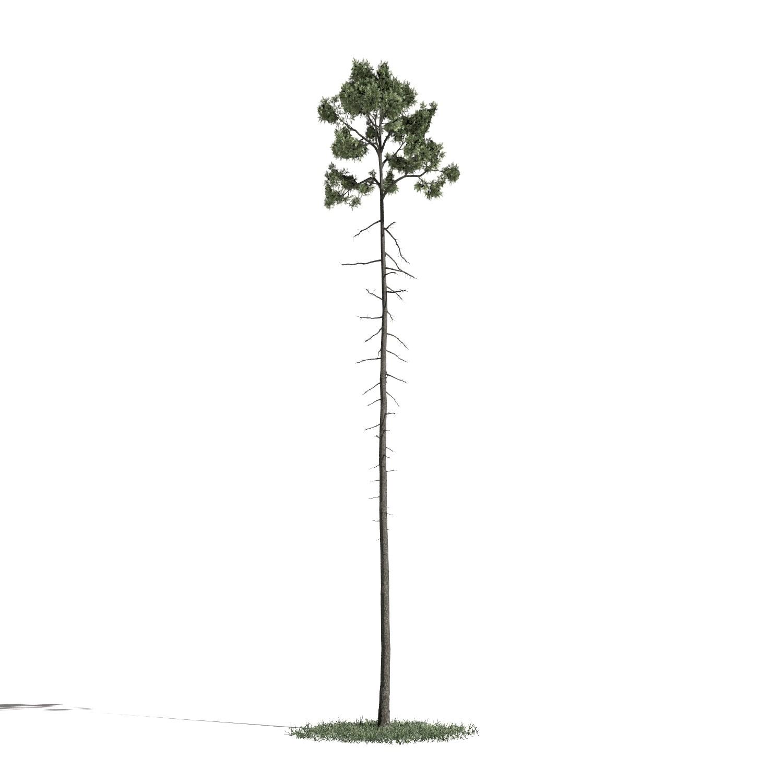 Tree 43 AM1 for Blender Archmodels