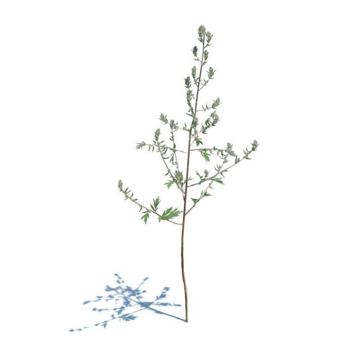 Artemisia Vulgaris 040 am124