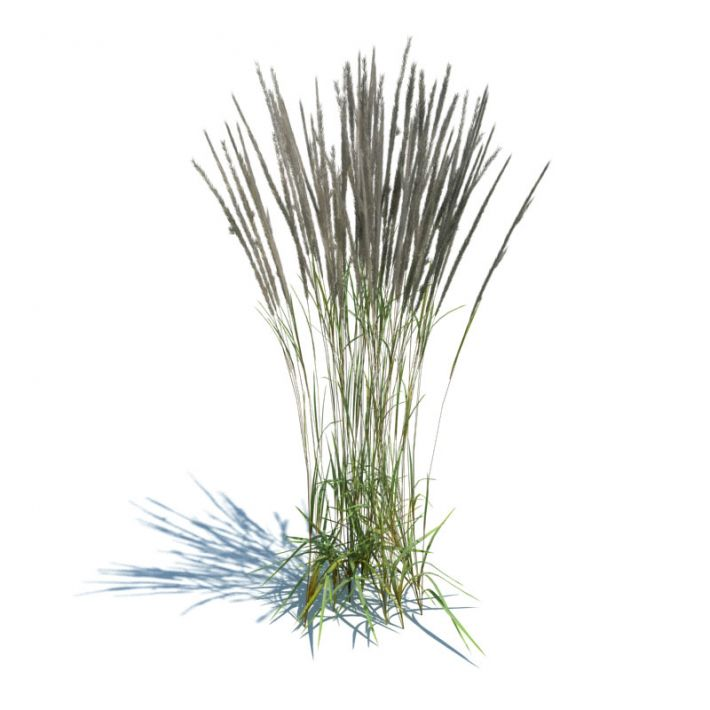 Calamagrostis acutiflora 86 AM126 Archmodels