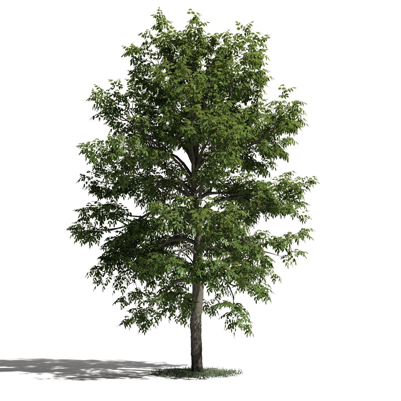 Tree 51 amb1