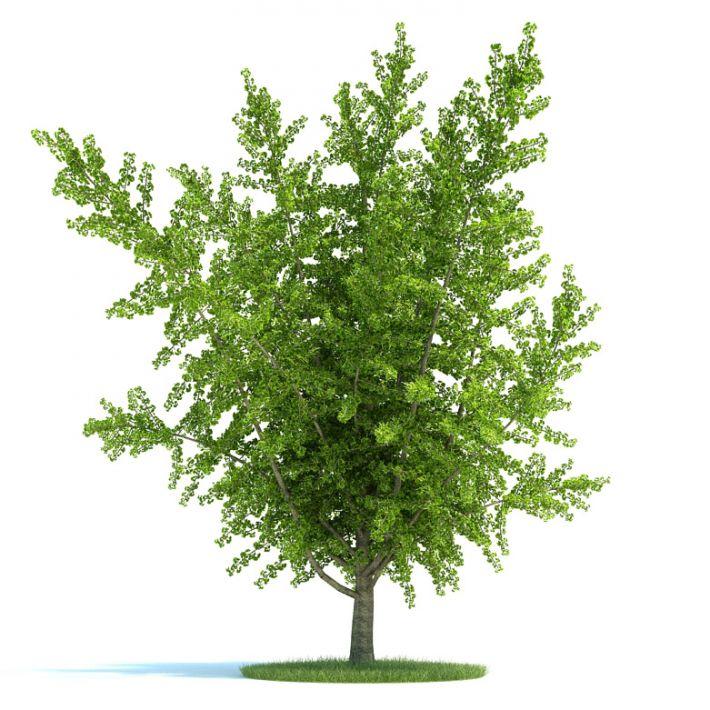Ginkgo biloba Plant 27 AM58