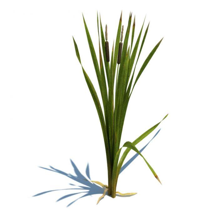 Typha latifolia 065 am124