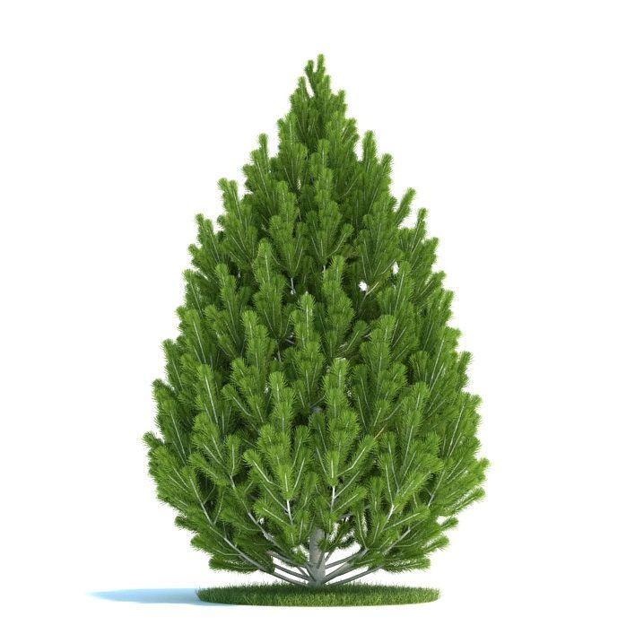 Pinus leucodermis Plant 21 AM58 Archmodels