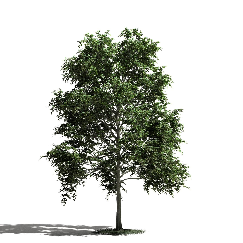 Tree 11 amb1
