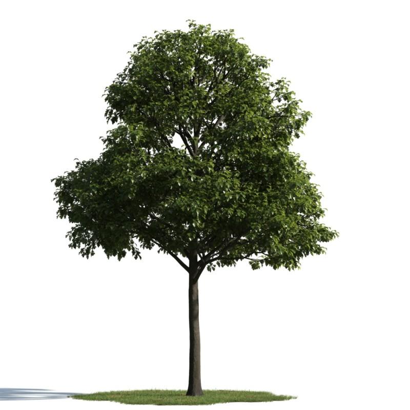tree 31 am163
