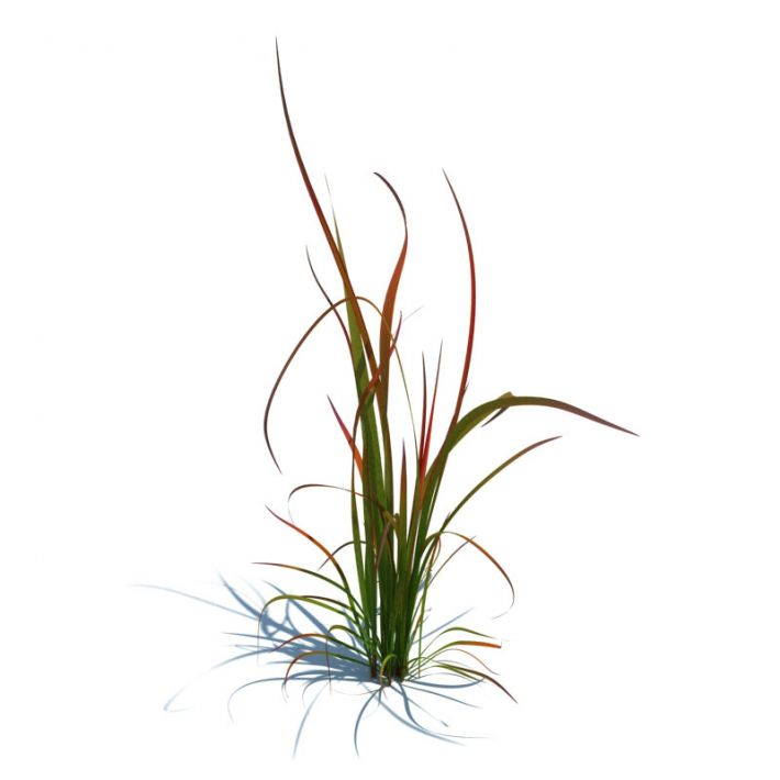 imperata cylindrica red baron 88 AM124 Archmodels
