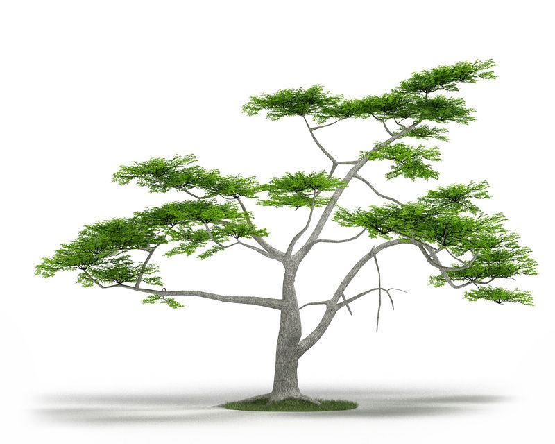 Acacia constricta 41 AM3 for Cinema4D Archmodels
