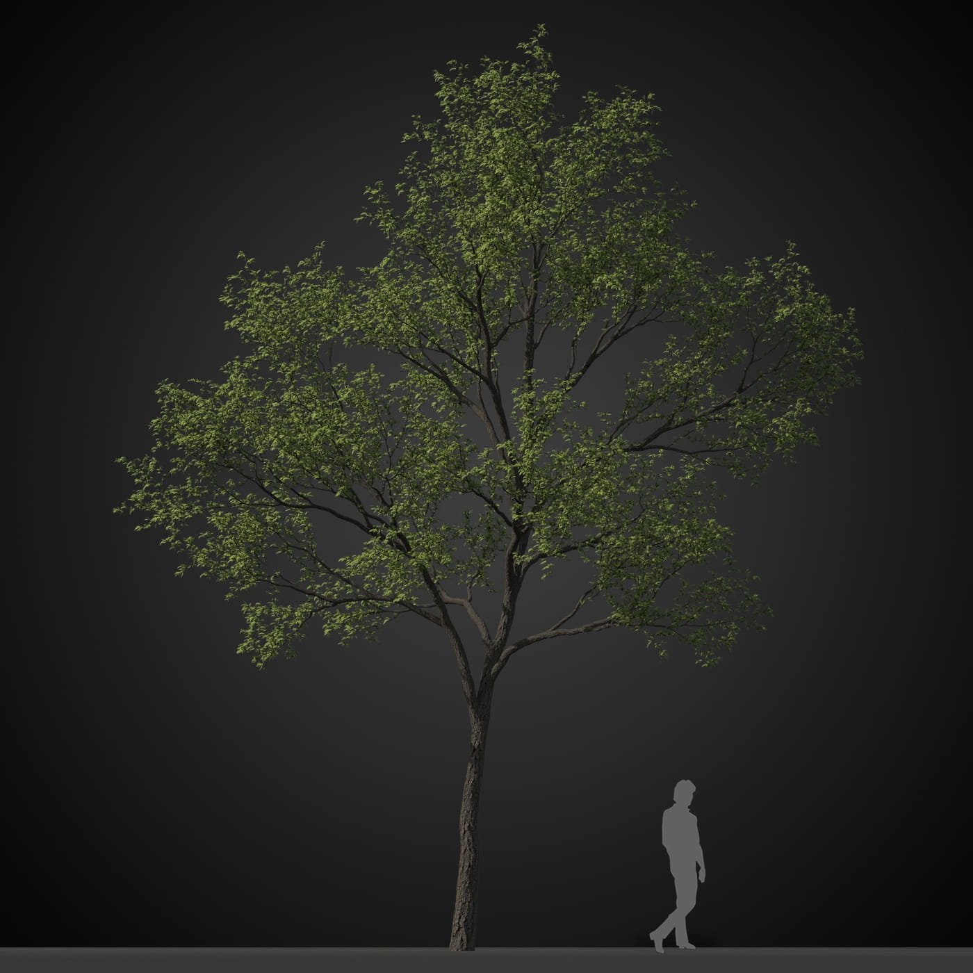 tree 4 AM207 Archmodels