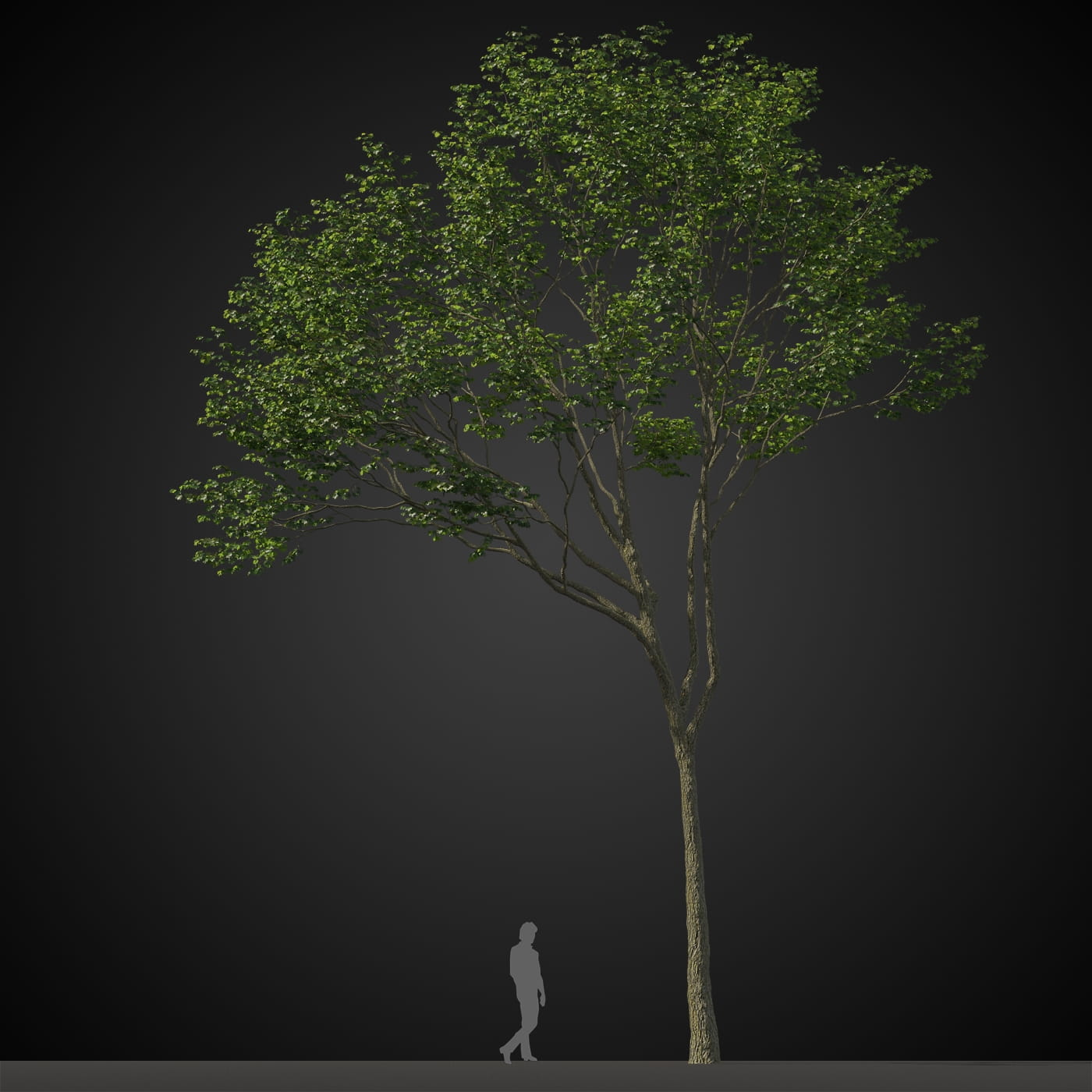 tree 18 AM207 Archmodels