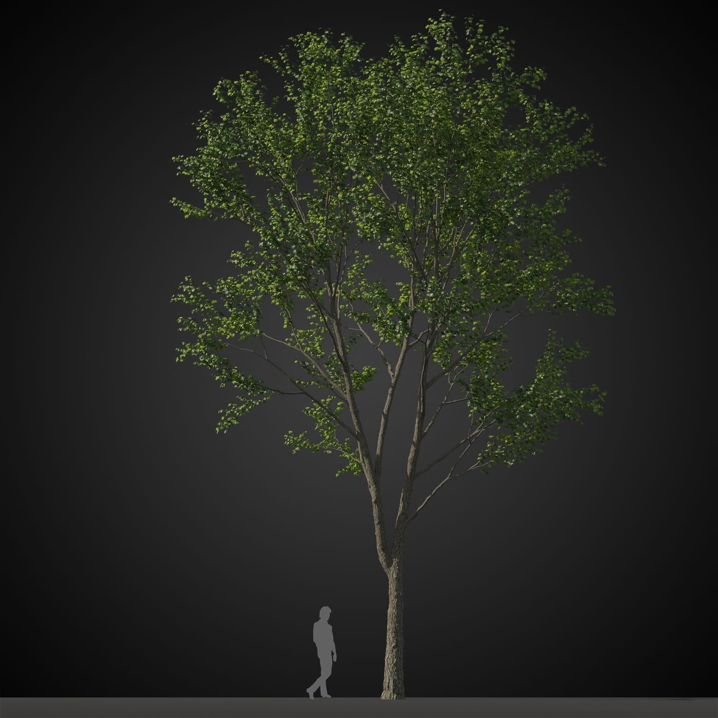 tree 20 AM207 Archmodels