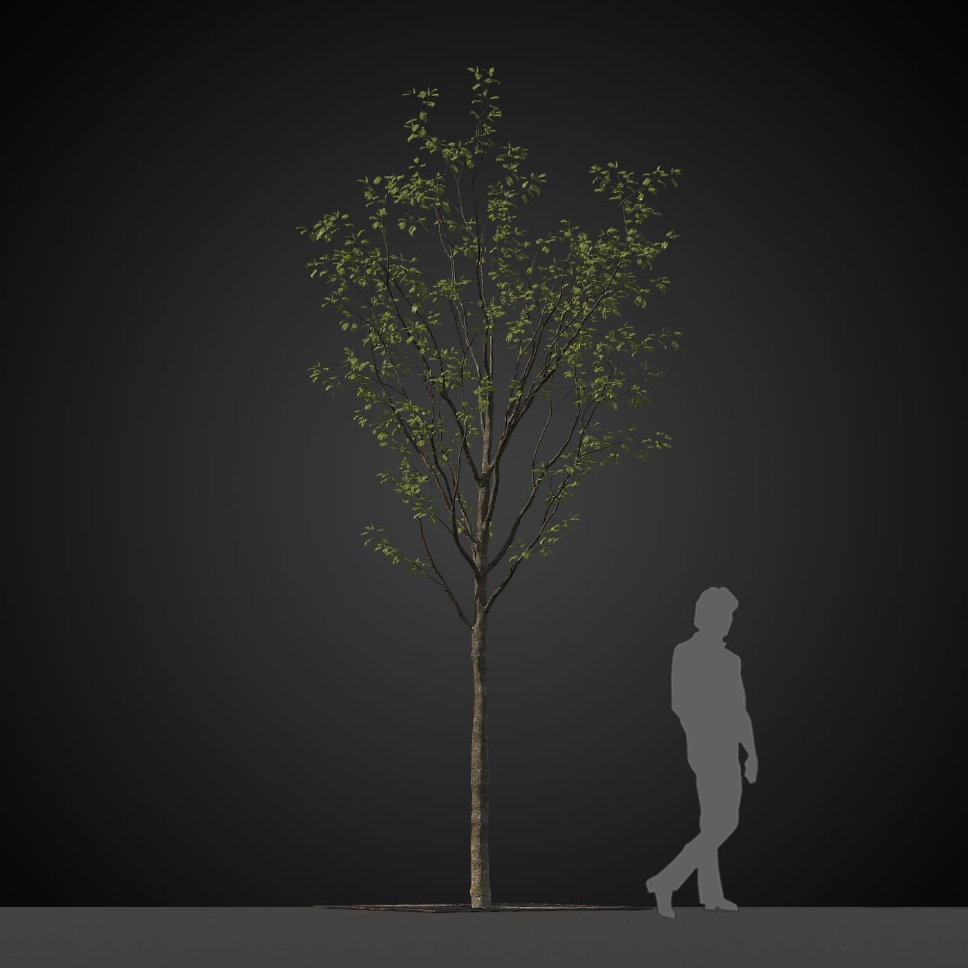 tree 24 AM207 Archmodels
