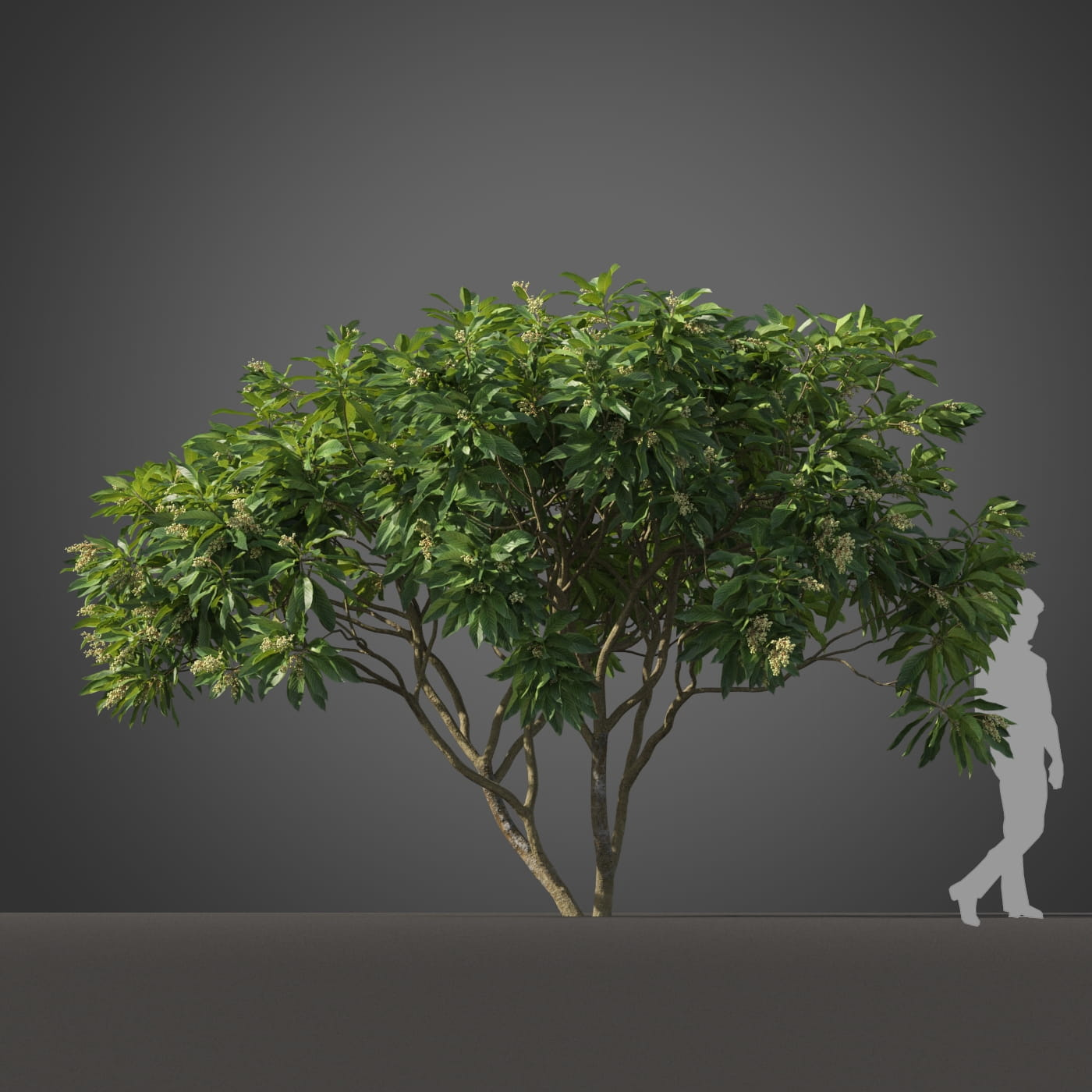 Loquat tree 1 AM210 Archmodels