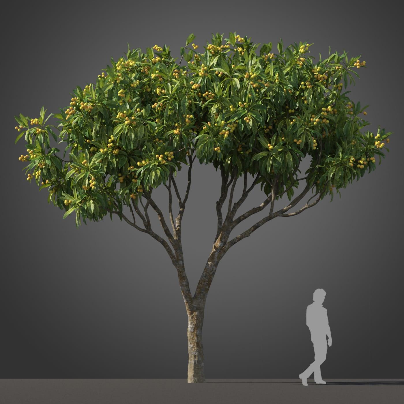 Loquat tree 4 AM210 Archmodels