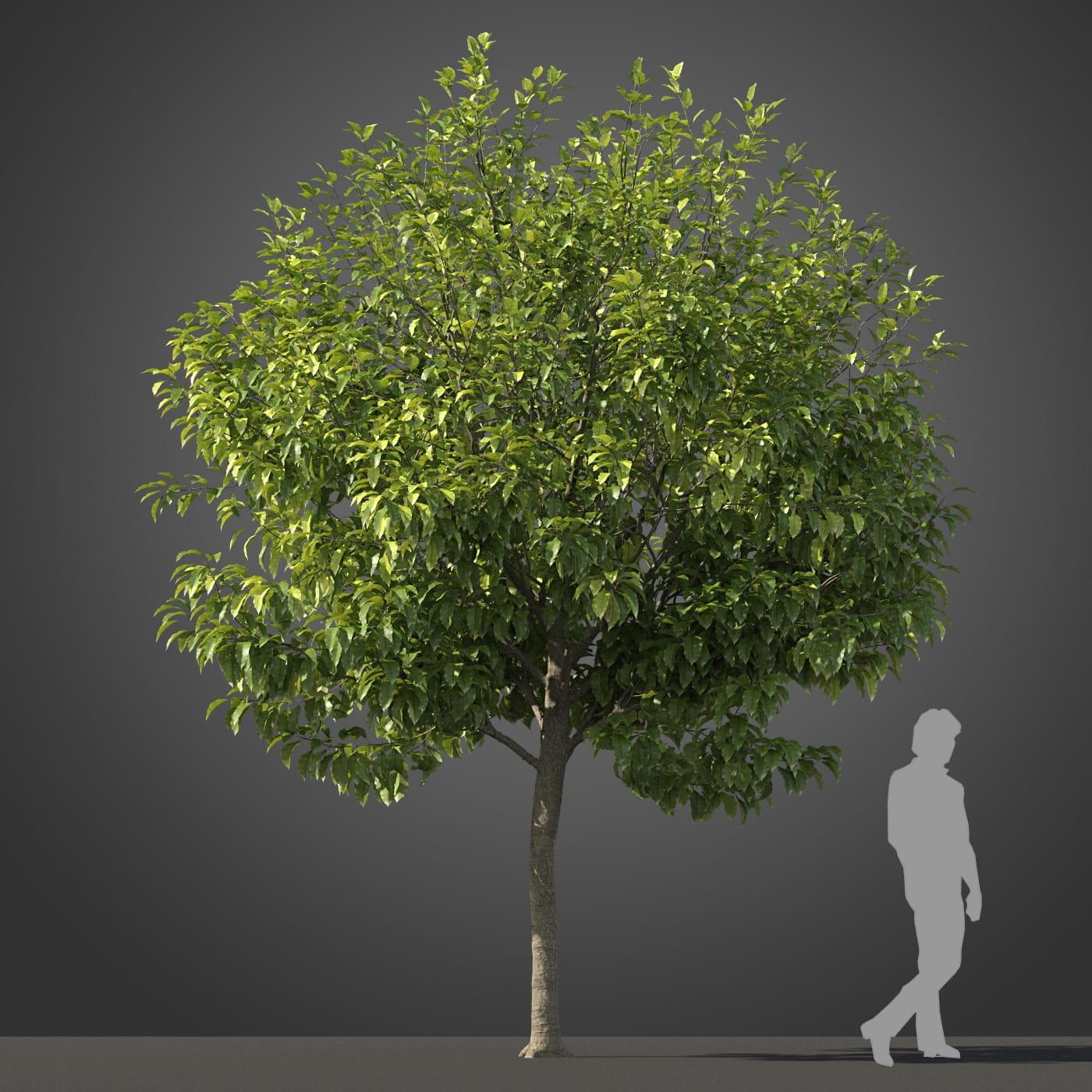 Michelia champaca tree 5 AM210 Archmodels