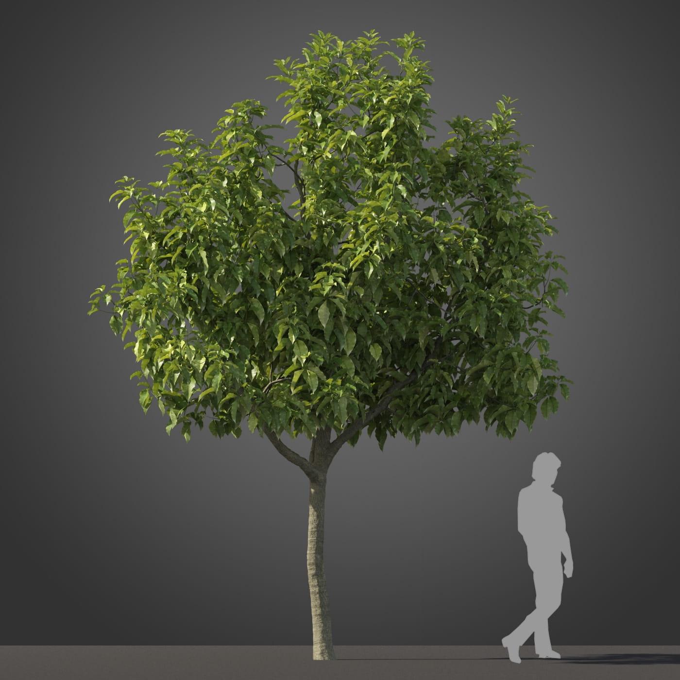 Michelia champaca tree 6 AM210 Archmodels