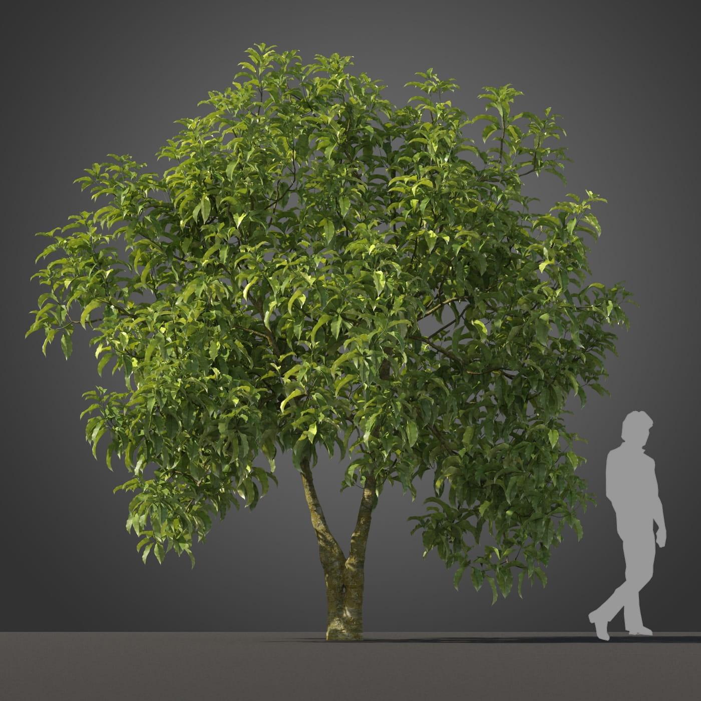Michelia champaca tree 7 AM210 Archmodels