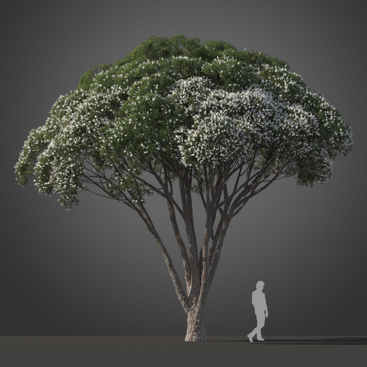 Melaleuca linariifolia tree 8 AM210 Archmodels